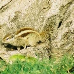 [NORTHERNPALMSQUIRREL01]